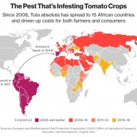 Africa's Got a Tomato Problem: Miner Grubs Are Wiping Them Out