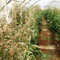 A natural barrier to stop the advance of Tuta absoluta on African tomato has been launched after extensive trials giving highly successful results.